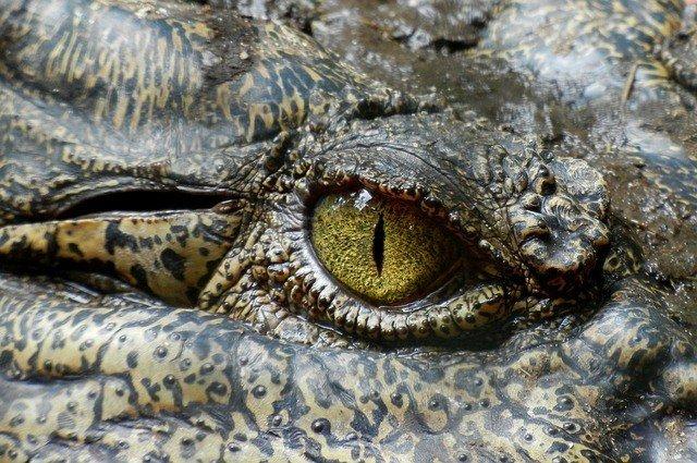 crocodile-630233_640