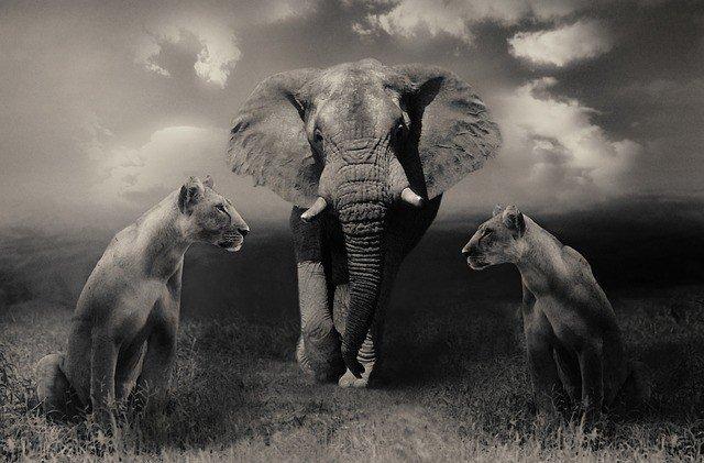 lionesses-644822_640