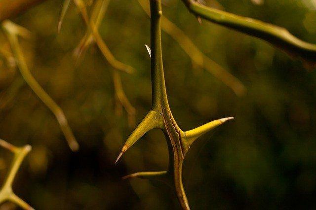 thorn-735190_640