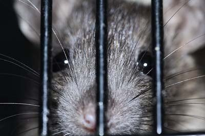 Photo of a cute lab rat, to illustrate the concept of intermittent reinforcement.